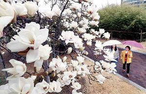 봄비 머금은 목련 '청초'