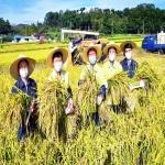 송철호 울산시장, 태풍 이겨낸 벼 수확